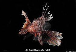 A lion fish by Barathieu Gabriel 